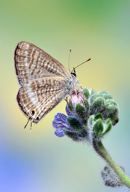 Long-tailed Blue - photos, Lampides boeticus