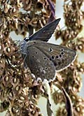 Meleager's Blue - photos, Polyommatus daphnis