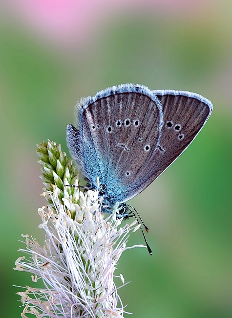 Mazarine Blue - photos, Cyaniris semiargus