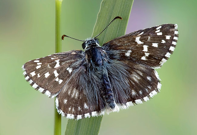 Olive Skipper - photos, Pyrgus serratulae