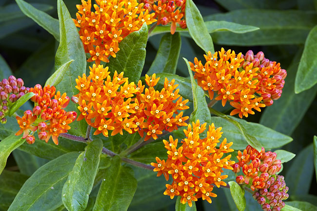 Butterfly Weed  - pictures