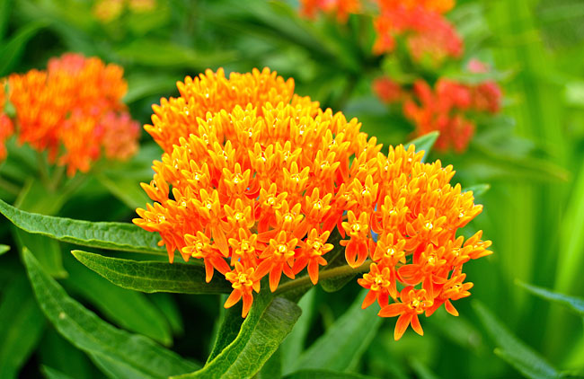 Photos - Butterfly Weed