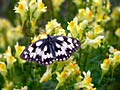 Marbled White - picture