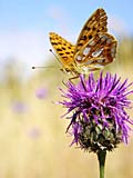 Queen of Spain Fritillary - photo stock
