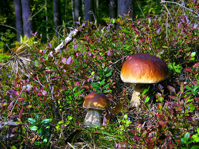 pictures - King bolete