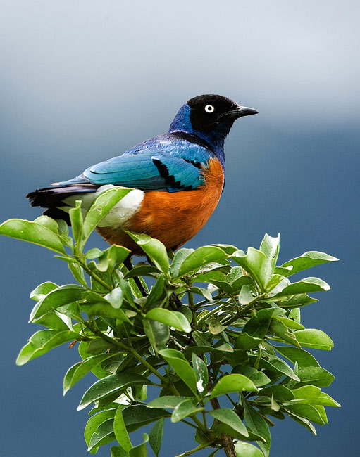 Superb Starling  - pictures