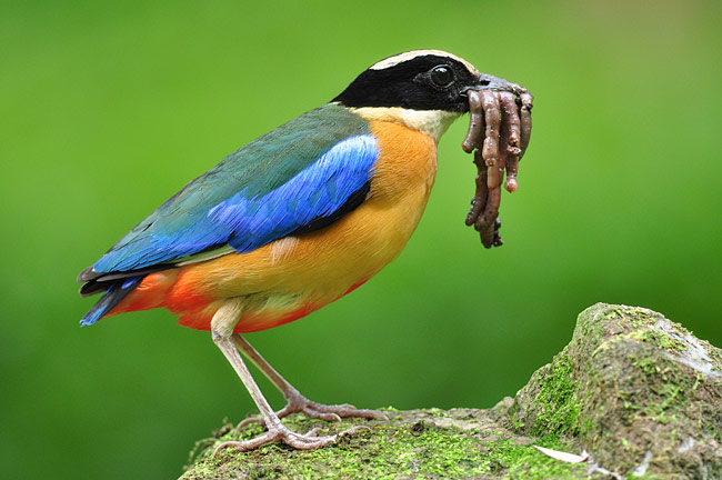 Blue-winged Pitta - photos, Pitta moluccensis