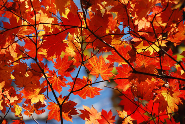 Maple - red leaves photos