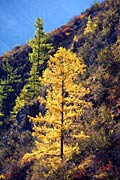 Larch  - pictures