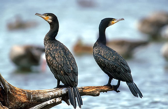 Great Cormorant  - pictures