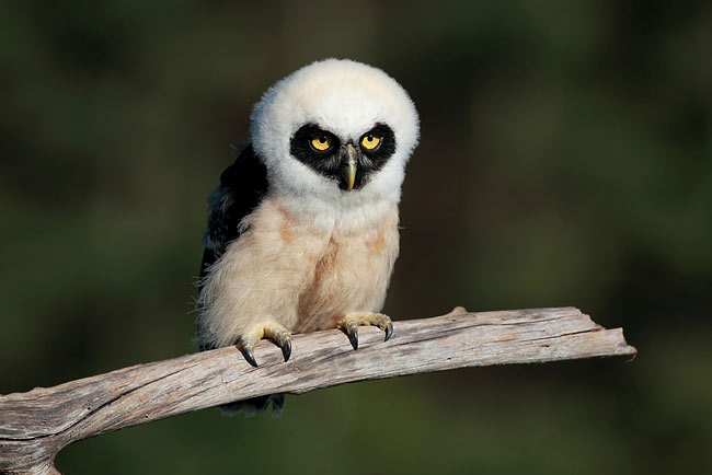Spectacled Owl  - pictures