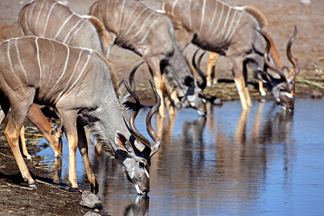 Photos - Greater Kudu