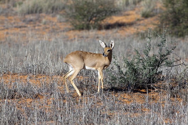 Steenbok  - pictures