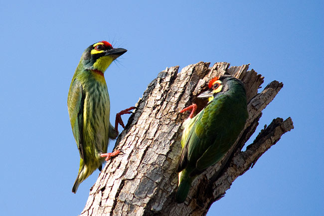 Coppersmith Barbet - photos, Megalaima haemacephala