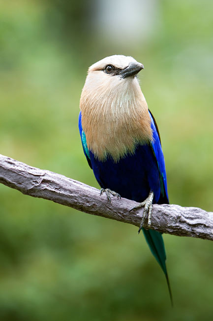 Racket-tailed Roller - photos, Coracias spatulatus