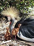 Black Crowned Crane  - pictures