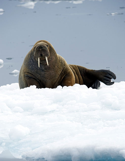 Walrus  - pictures