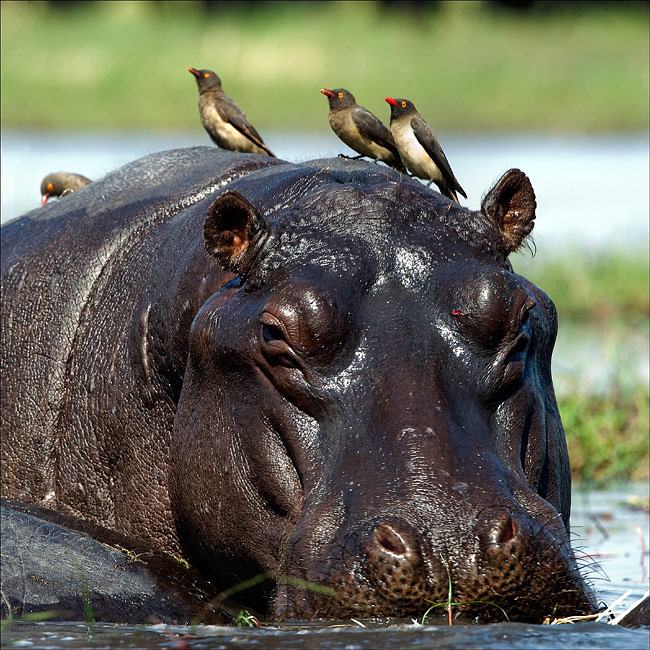 nature pictures - Hippo