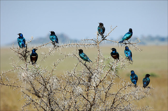 Superb Starling - nature photography