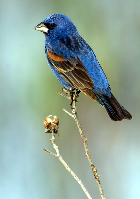 Blue Grosbeak  - pictures