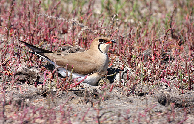 Collared Pratincole - photos, Glareola pratincola