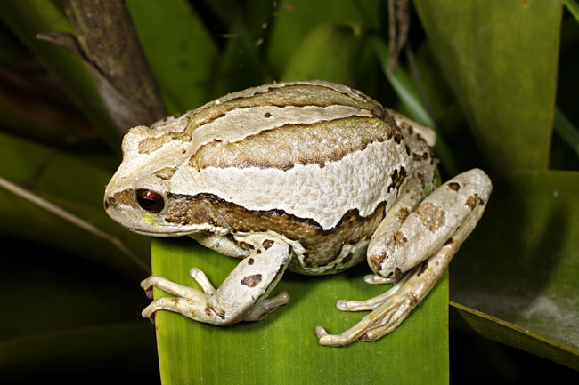 Gastrotheca riobambae  - pictures