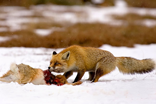 nature pictures - Fox