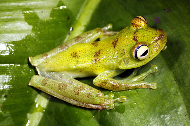 Hypsiboas pellucens - photos