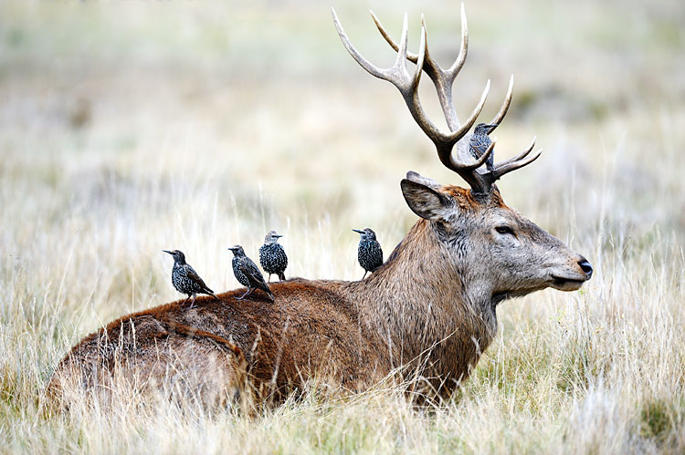 Red Deer - Species, photos
