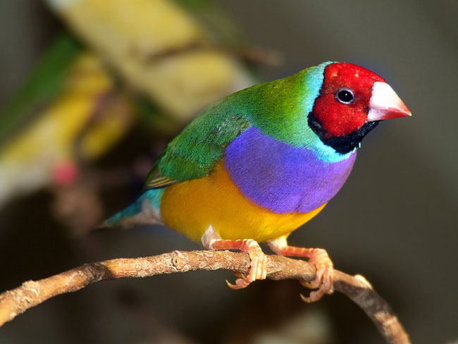Gouldian Finch  - pictures
