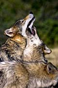 nature pictures - Gray Wolf