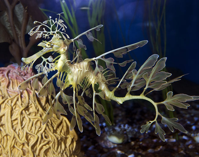 Leafy sea dragon - photos, Phycodurus eques