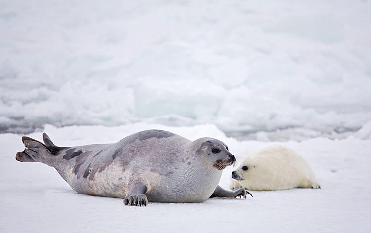 Harp Seal  - pictures