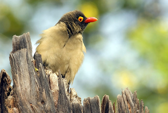Red billed oxpecker - photos, Buphagus erythrorhynchus