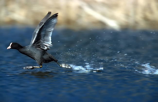 Coot - photography