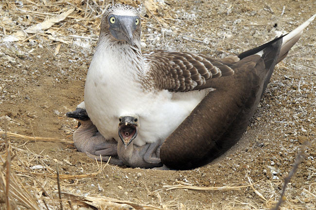 Blue-footed Booby - photography