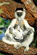 Verreaux's Sifaka - photos, Propithecus verreauxi