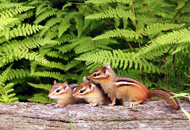 Chipmunks - photos