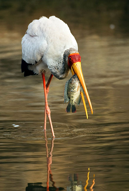 Yellow-billed Stork - photography
