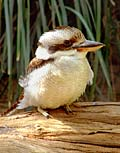 Laughing Kookaburra  - pictures