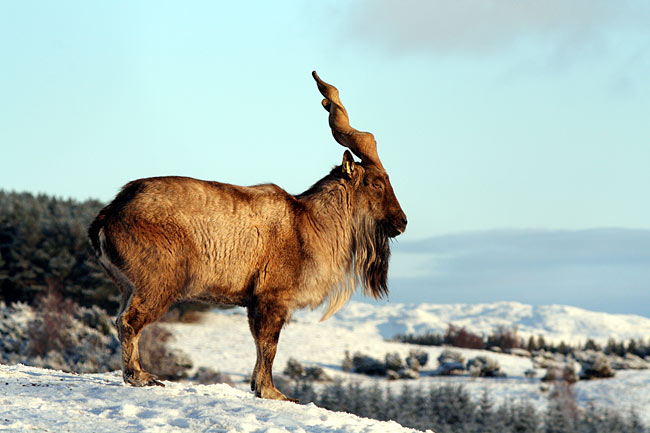 Markhor - photos, Capra falconeri