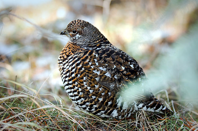 Spruce Grouse - photos, Canachites canadensis