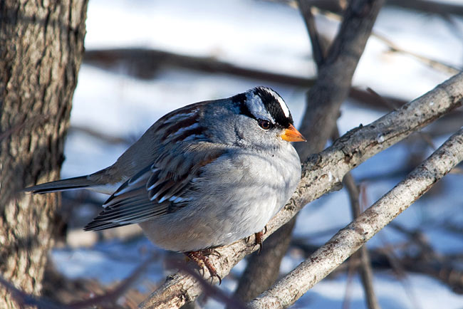 White-crowned Sparrow - photos, Zonotrichia leucophrys