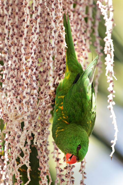 Scaly-breasted Lorikeet - photos, Trichoglossus chlorolepidotus