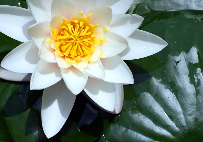 Water lilies  - picture