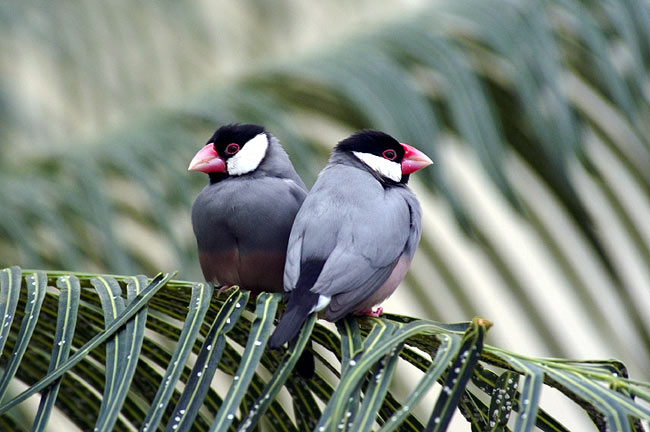 Java Sparrow - photos, Lonchura oryzivora