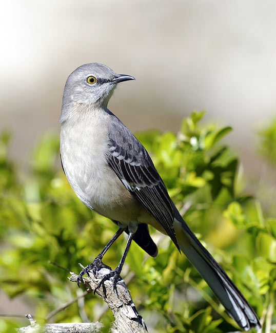 Northern Mockingbird - photos, Mimus polyglottos