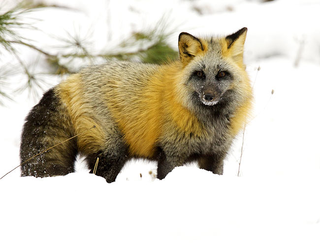 Cross fox photos, Animal photos, animal pictures