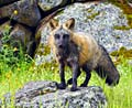 Cross fox melanistic colour variant of the red fox   - pictures