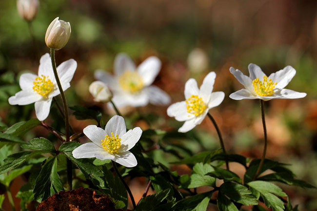 nature pictures - Wood anemone